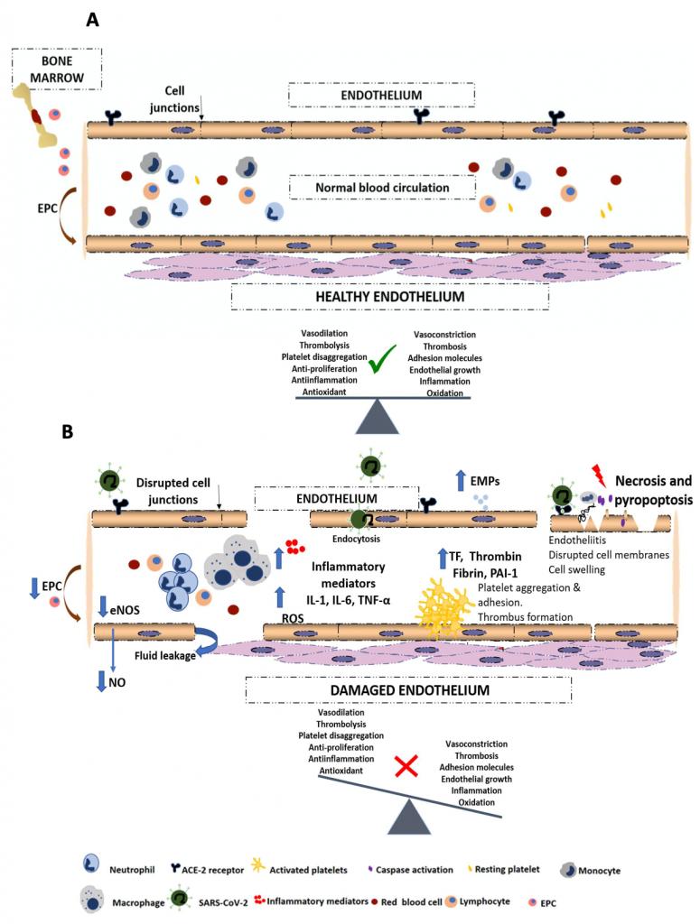 Disfunció endotelial pulmonar i complicacions trombòtiques  en pacients amb COVID-19.