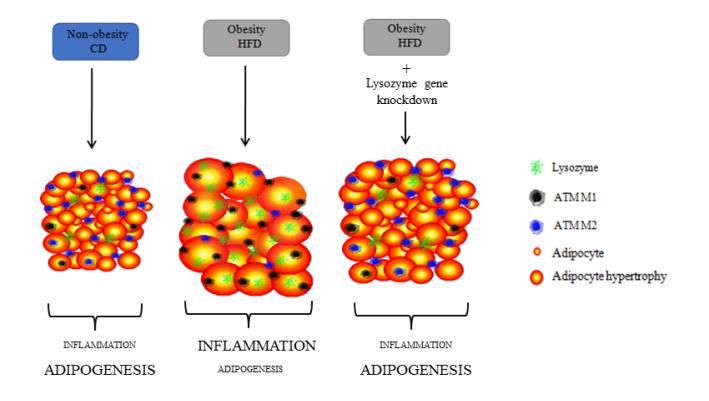 El silenciament de lisozim en el teixit adipós redueix la inflammació local i millora l'adipogenesis en ratolins alimentats amb una dieta alta en greixos