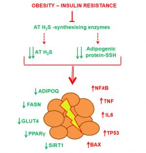L'activació de la síntesis endógena de H2S o la suplementació exògena de H2S potencia l'adipogenesis en el teixit adipós i preserva la fisiologia dels adipòcits humans.
