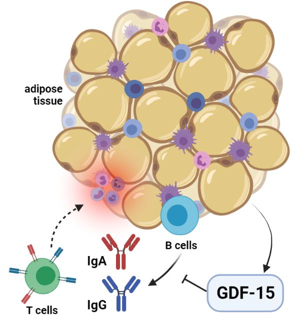 El marcador anti-inflamatorio GDF-15 se asocia longitudinalmente con la IgA y IgG séricas en niños y niñas aparentemente sanos