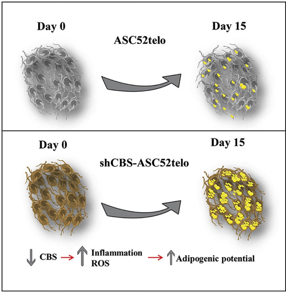 Permanent cystathionine-β-Synthase gene knockdown promotes inflammation and oxidative stress in immortalized human adipose-derived mesenchymal stem cells, enhancing their adipogenic capacity